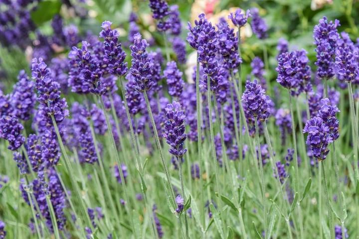 lavandula intermedia hidcote giant lavender plant