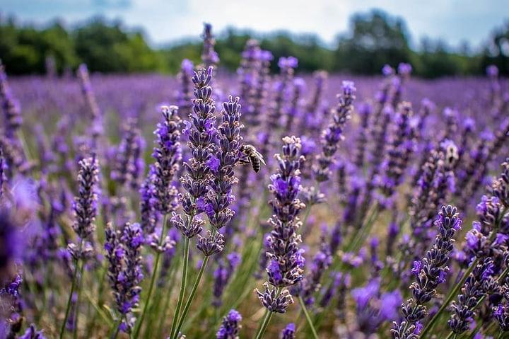 lavandula intermedia provence lavender plant