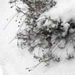 lavender in winter