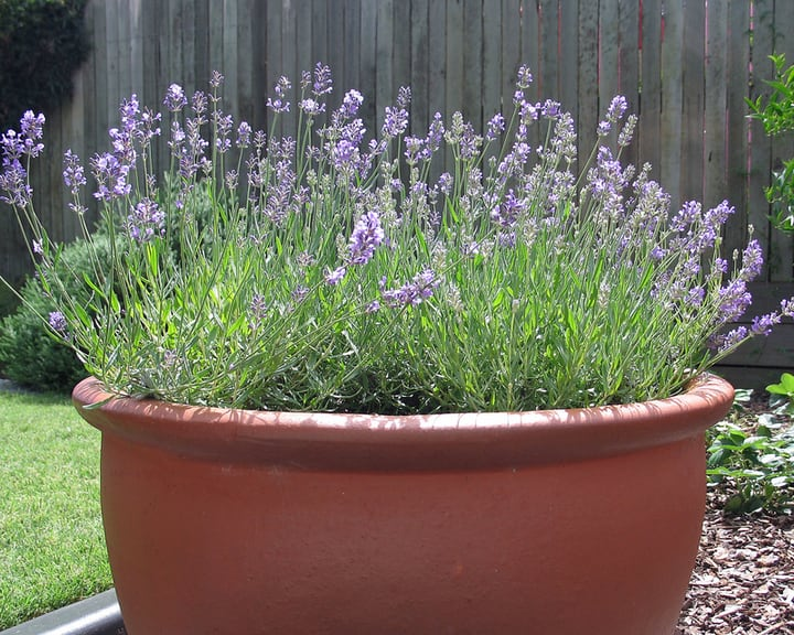lavender plant in a pot