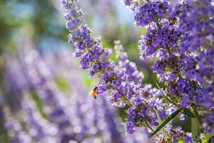 lavender plant in direct sunlight