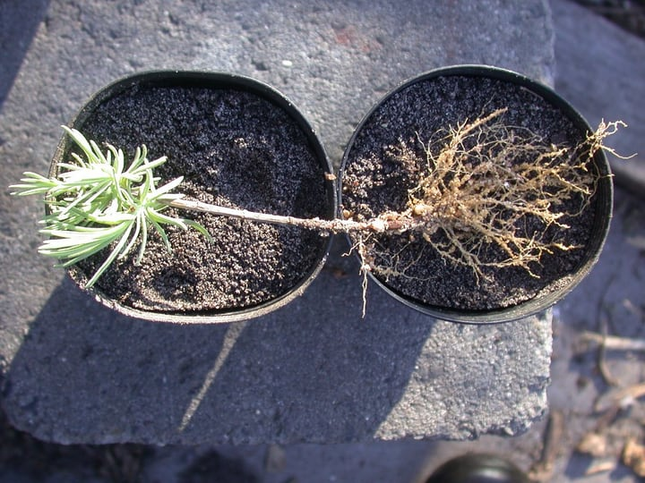 lavender plant with root system