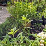 lush herb garden
