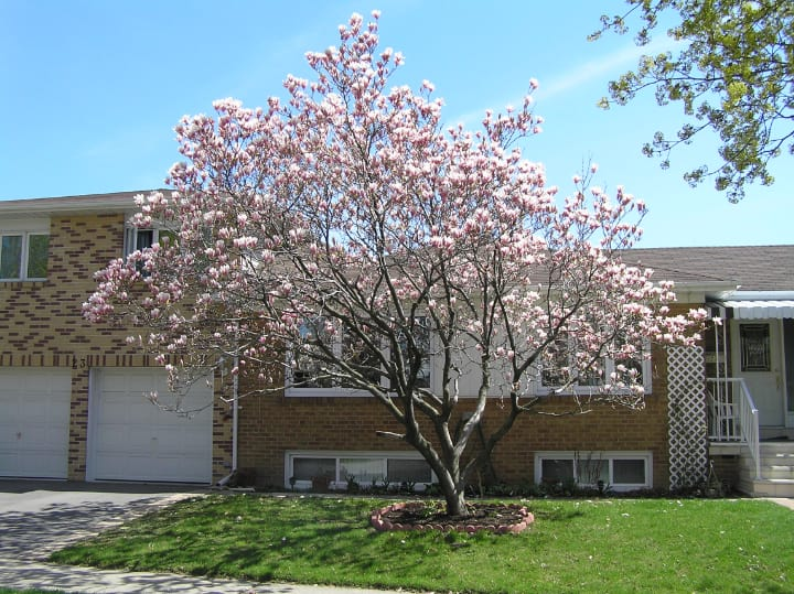 magnolia tree on the front lawn