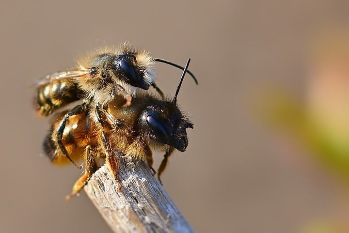 mating bees on top of a dried branch
