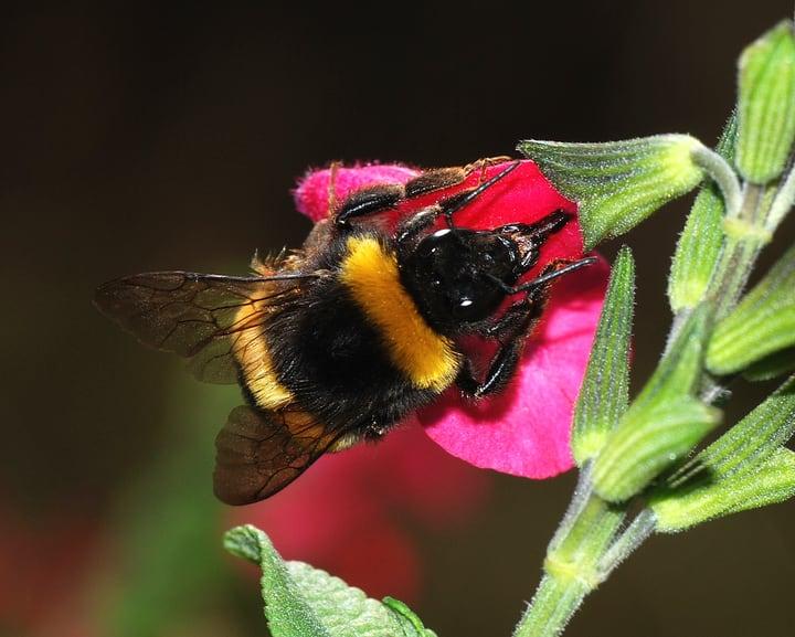 nectar robbing bumblebee