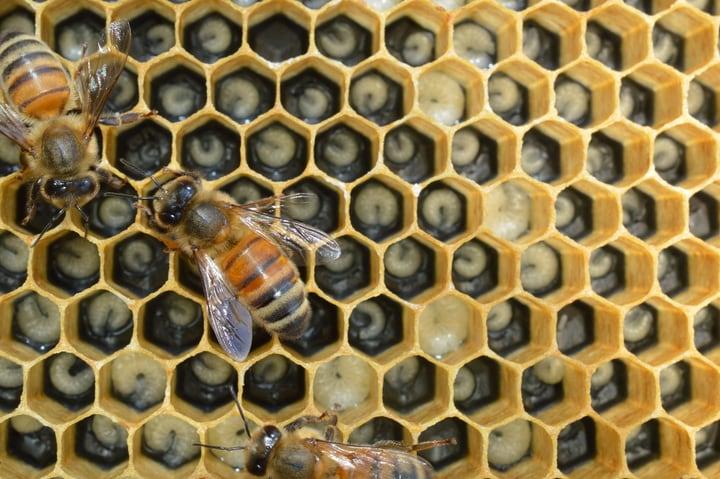 nurse bees