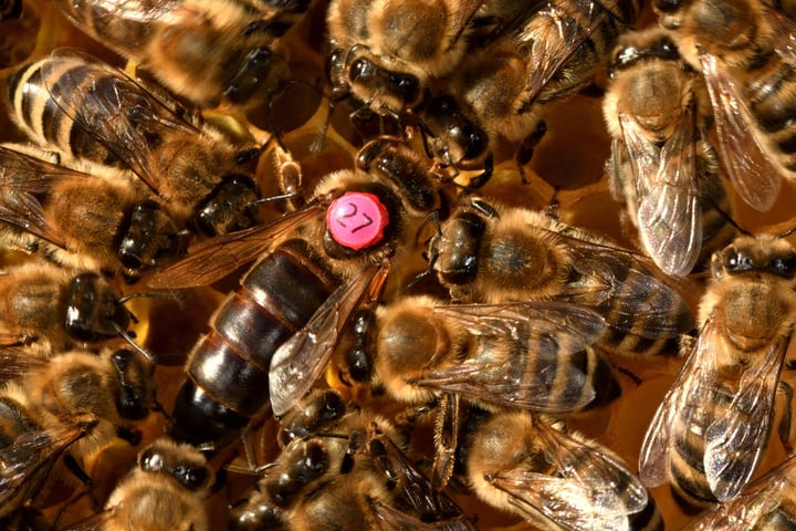 queen bee and worker bees