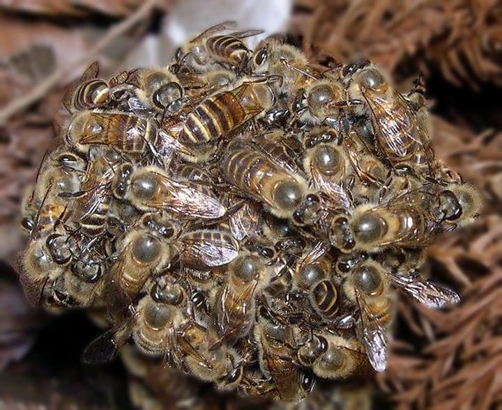 queen bee balling