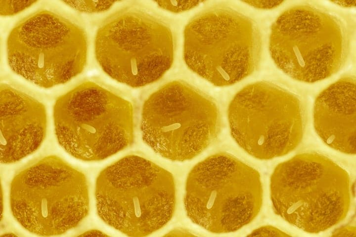 queen bee eggs in honeycomb