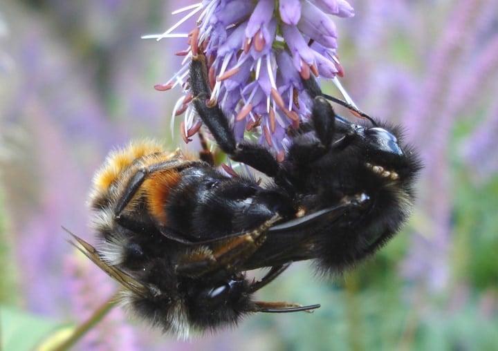 queen bee mating flight