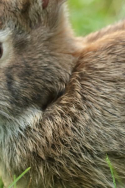 rabbit eating green leaf