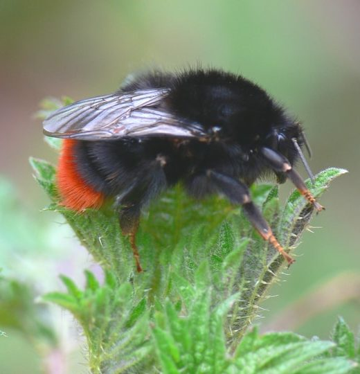 red tailed bombus lapidarius queen bumblebee