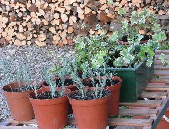 repotting lavender cuttings