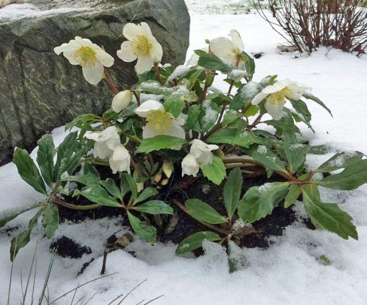 rose gardening winter