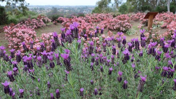 spanish lavender anouk plant