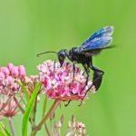 sphex pensylvanicus great black wasp