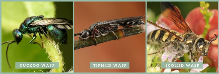 types of solitary wasp