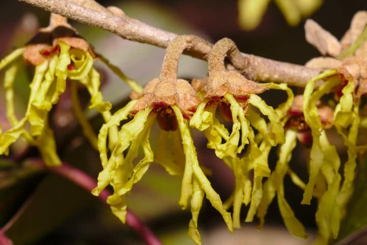 using witch hazel to relieve bee sting