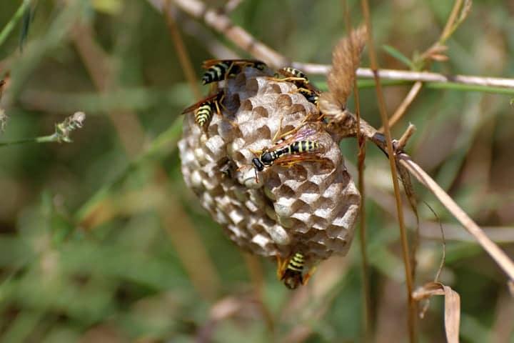 wasp nest in the garden