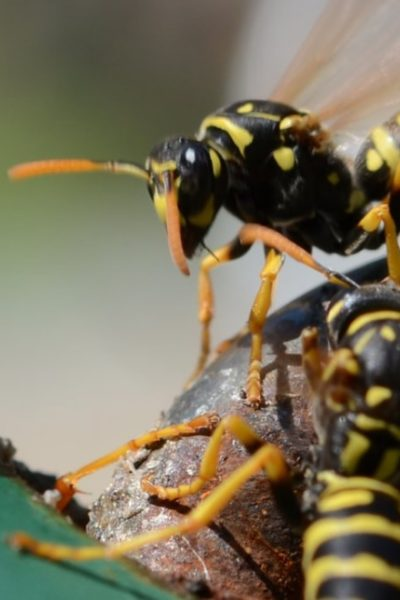 wasps in the garden