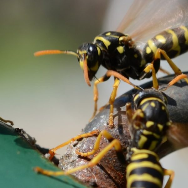 wasps in the garden