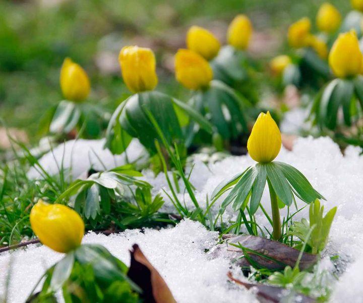 winter flower aconites