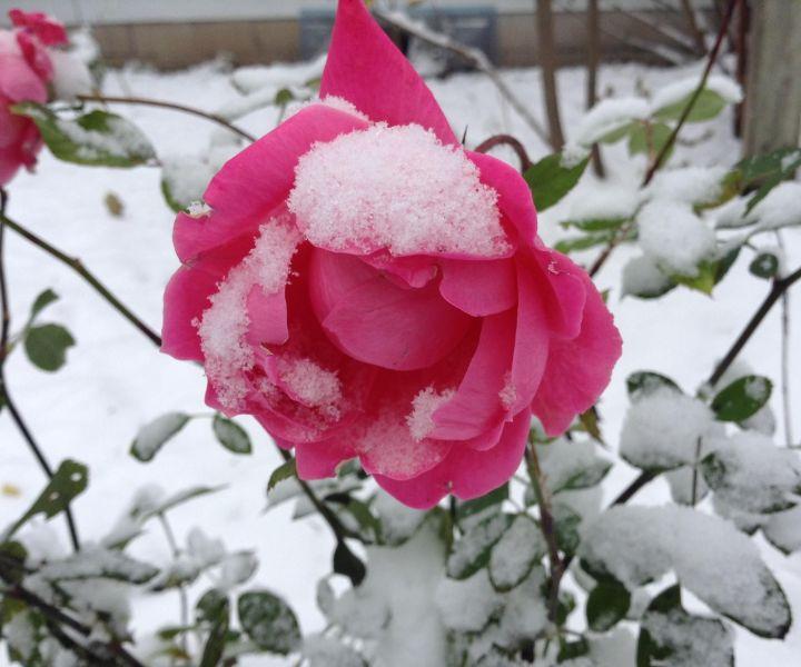 winter flower camellia