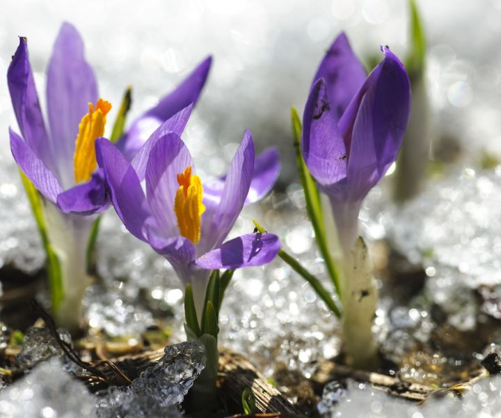 winter flower crocus