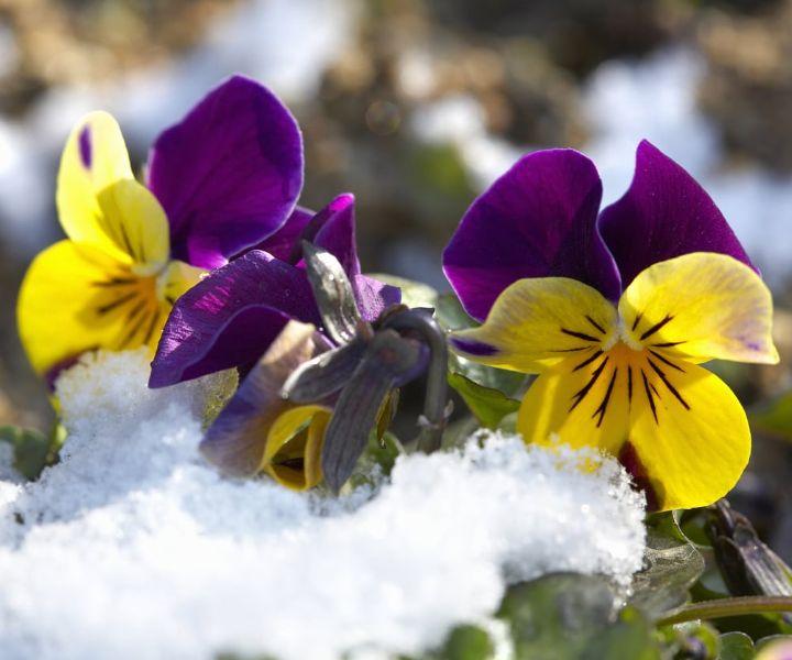 winter flower pansy