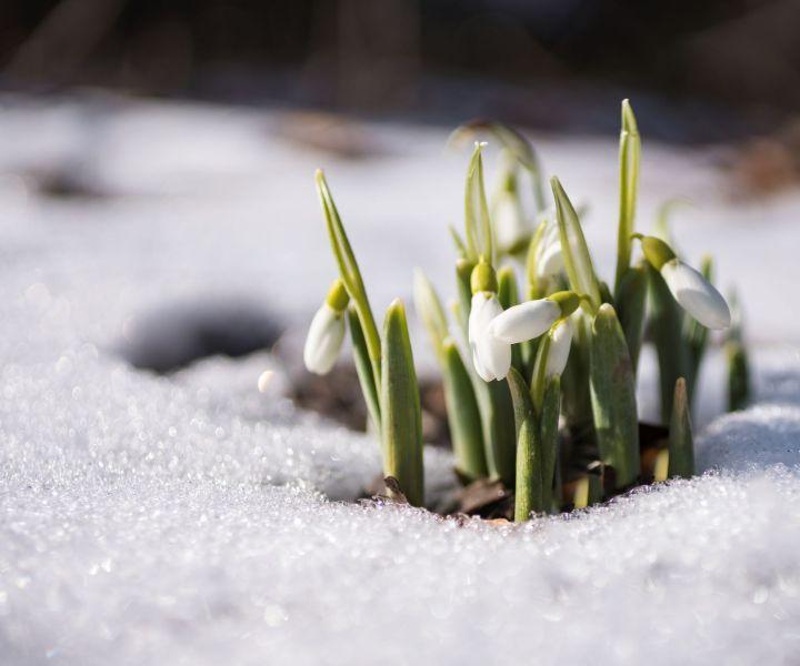 winter flower snowdrops