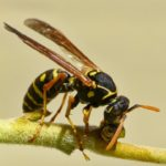 yellow jackets are the most aggressive wasp