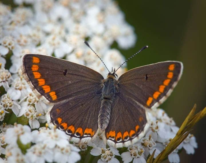 brown argus butterfly on yarrow flowers