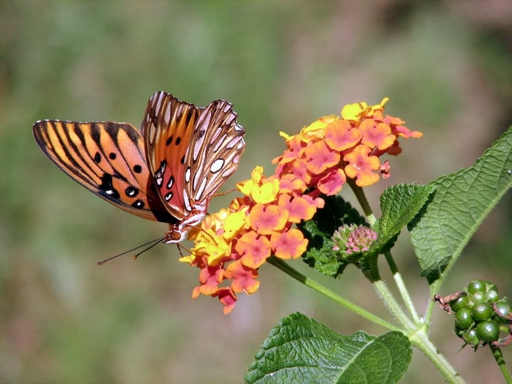 butterdly on lantana flowers