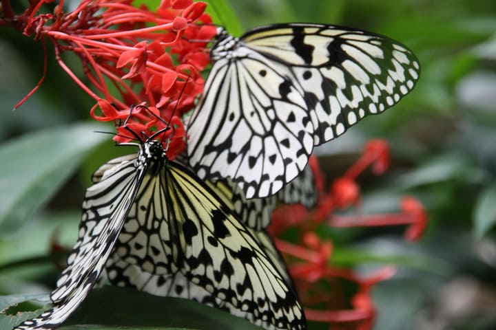 butterflies on red tuny flowers