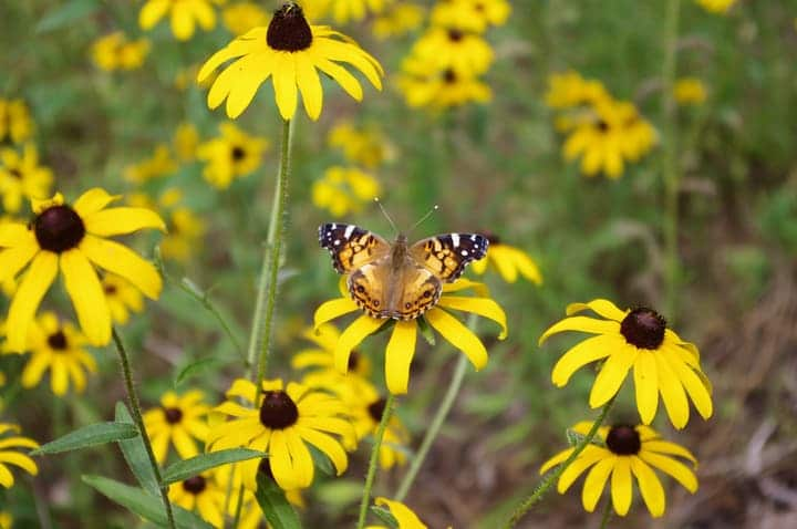 butterfly in black eyed susan flower garden