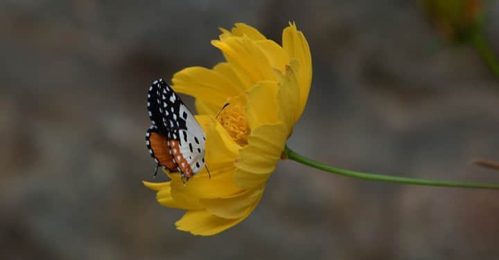 butterfly on a yellow marigold flower