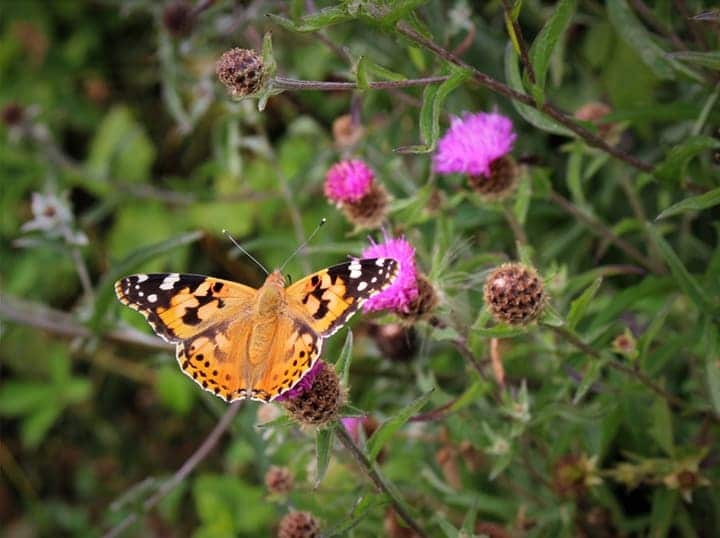 butterfly on native perennial flowers