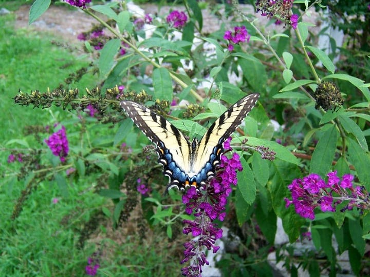 butterfly pollinating the garden