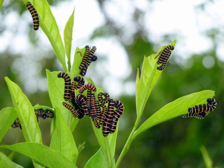 clearwing butterfly caterpillars
