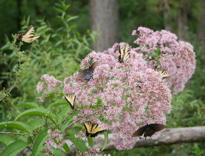 eastern tiger swallowtail butterflies on a joe pye weed