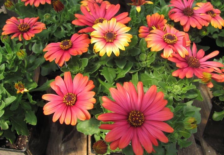 fire bust cape daisies