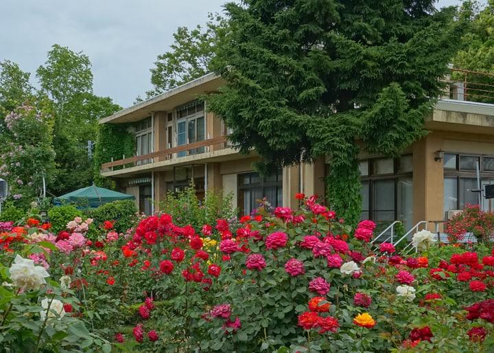 frontyard rose garden