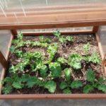 growing kale on a winter garden
