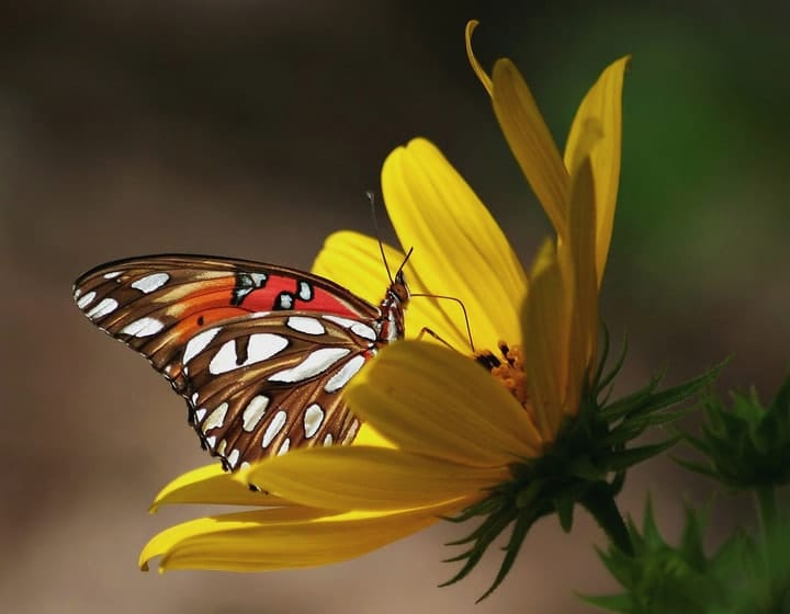 gulf fritillary butterfly on a sunflower