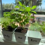 herbs on self watering plants by the window