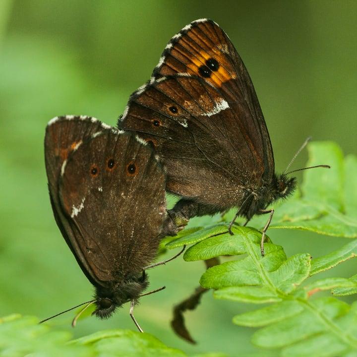 mating adult butterflies