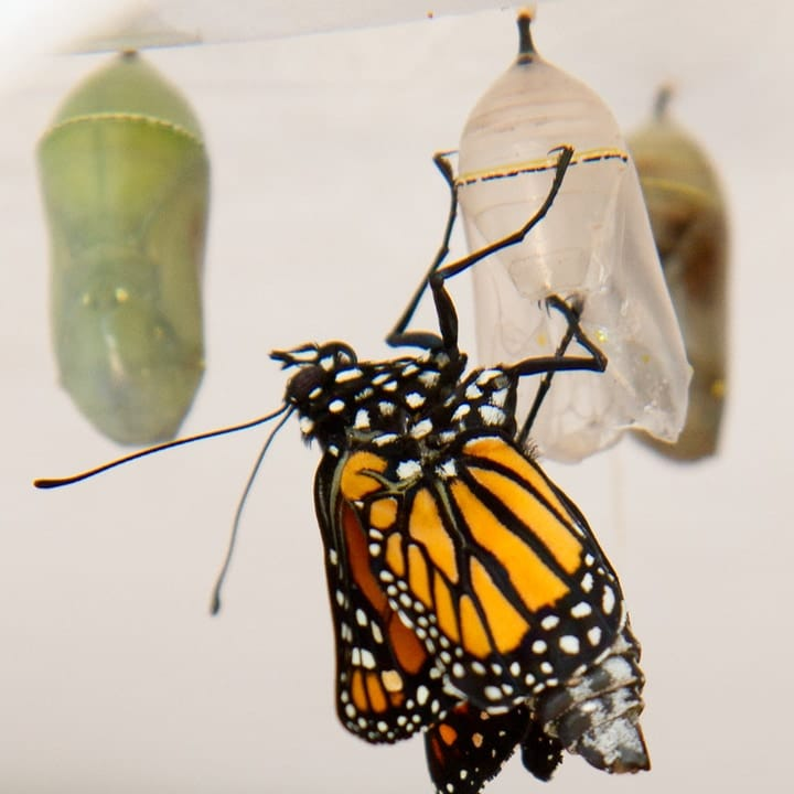 monarch butterfly emerging from the pupa