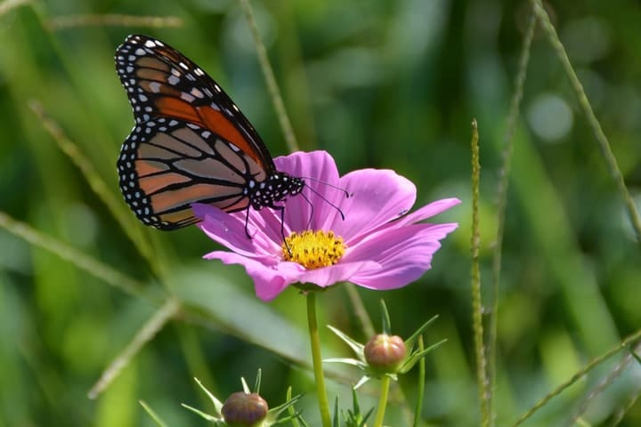 monarch butterfly on a cosmos flower