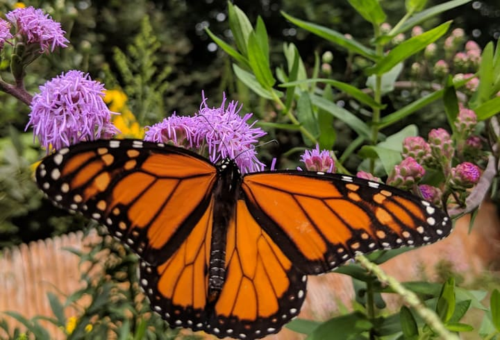 monarch butterfly on liatris